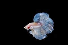 Moment des poissons de betta, poissons de combat siamois Photos libres de droits