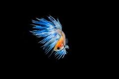 Moment des poissons de betta, poissons de combat siamois Photographie stock