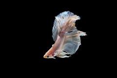 Moment des poissons de betta, poissons de combat siamois Photo libre de droits