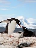 Moment doux des pingouins Photo stock