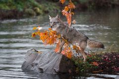 Moment för prärievargCanislatrans upp på Rock hösten royaltyfri bild