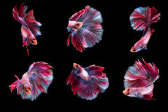 6 Moment Fighting Fish Royalty Free Stock Photo