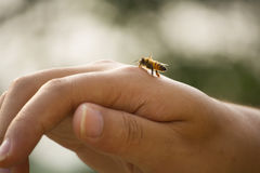 The moment of a honey bee on hand. Little honey bee on my hand while I'm taking photoes outdoors Royalty Free Stock Photo
