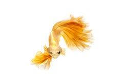 Moment mobile des poissons de combat siamois d'or Image stock
