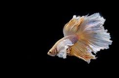 Moment mobile des poissons de combat siamois de grande oreille Photographie stock