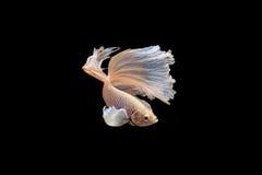 Moment mobile des poissons de combat siamois de grande oreille Photos libres de droits