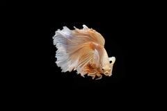 Moment mobile des poissons de combat siamois de grande oreille Image libre de droits