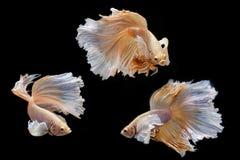 Moment mobile des poissons de combat siamois de grande oreille Photos stock