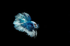 Moment mobile des poissons de combat siamois de grande oreille Photographie stock libre de droits