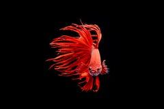 Moment mobile des poissons de combat siamois de grande oreille d'isolement sur le noir Photos stock