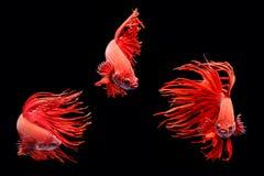 Moment mobile des poissons de combat siamois de grande oreille d'isolement sur le noir Photo libre de droits