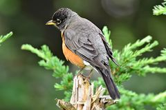American Robin, listening for its mate, Grouse Mountain, Canada stock images
