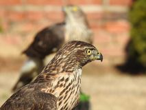 My hawks dressed in the afternoon sun royalty free stock image