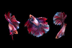 3 moment siamese bój ryba Zdjęcia Royalty Free