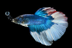 Moment of siamese fighting fish Royalty Free Stock Images