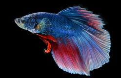 Moment of siamese fighting fish Stock Photography