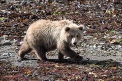 Moment spécial, jeune ours gris sur la baie de Katmai photos libres de droits