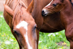 A moment of tenderness. Little foal and his mother in a tenderness moment Royalty Free Stock Photos