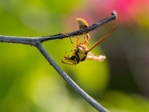 The Moment of Wasp. In The Branch Stock Image
