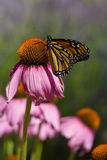 Momentary pause. A delicate monarch butterfly rests on top of a purple coneflower stock photos