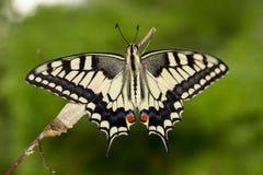 Momento asombroso del primer sobre la mariposa (machaon) que emerge de crisálida en la ramita en fondo verde DOF bajo foto de archivo libre de regalías