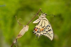 Momento asombroso del primer sobre la mariposa que emerge de crisálida en la ramita en fondo verde DOF bajo fotos de archivo