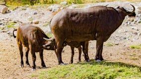 Momento bonito em que uma mãe do búfalo está amamentando suas crianças imagem de stock royalty free