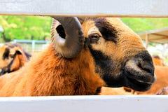 Momento chocante em carneiros de Barbado Blackbelly foto de stock