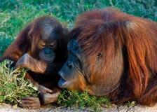 Momento da matriz e do bebê do orangotango Imagem de Stock Royalty Free