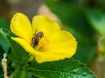 Momento de la abeja que come el polen dentro de la flor Foto de archivo libre de regalías