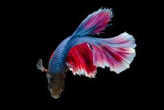Momento de peixes de combate siamese, splendens do betta, peixes o do aquário Imagens de Stock Royalty Free