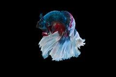 Momento de peixes do betta, peixes de combate siamese Imagem de Stock Royalty Free