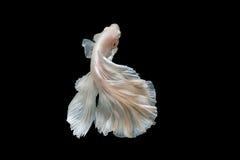 Momento de peixes do betta, peixes de combate siamese Foto de Stock
