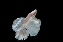 Momento de peixes do betta, peixes de combate siamese Fotos de Stock