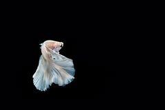 Momento de peixes do betta, peixes de combate siamese Fotografia de Stock