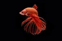Momento de peixes vermelhos do betta, peixes de combate siamese Foto de Stock