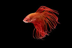 Momento de peixes vermelhos do betta, peixes de combate siamese Fotografia de Stock Royalty Free