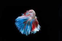 Momento de peixes vermelhos do betta, peixes de combate siamese Imagens de Stock