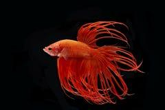 Momento de peixes vermelhos do betta, peixes de combate siamese Fotografia de Stock