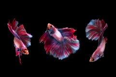 momento 3 del pesce siamese di combattimento Fotografie Stock Libere da Diritti