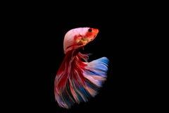 Momento del pesce siamese di combattimento Fotografia Stock