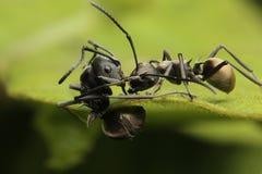 Momento do duelo de Ant Fight engraçado fotos de stock royalty free