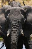 Momento intenso do elefante africano Imagens de Stock