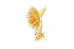 Momento movente de peixes de combate siamese do ouro Foto de Stock