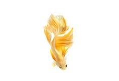 Momento movente de peixes de combate siamese do ouro Fotos de Stock