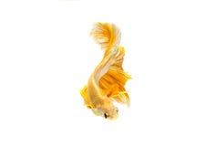 Momento movente de peixes de combate siamese do ouro Foto de Stock Royalty Free