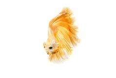 Momento movente de peixes de combate siamese do ouro Imagem de Stock Royalty Free