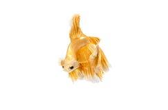 Momento movente de peixes de combate siamese do ouro Imagens de Stock