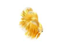 Momento movente de peixes de combate siamese do ouro Imagens de Stock Royalty Free