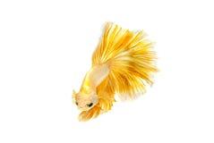 Momento movente de peixes de combate siamese do ouro Fotografia de Stock